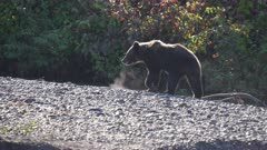 Grizzly (Brown Bear)  walking up river bank in the early morning sun super slow motion