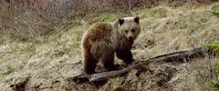 Grizzly (Brown Bear) cub forging & digging, spoked runs off - Slow Motion