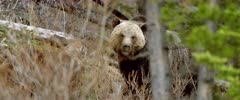 Grizzly (Brown Bear) cub & mother  forging & digging in forest - Slow Motion