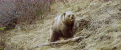 Grizzly (Brown Bear) cub forging & digging, different angle - Slow Motion
