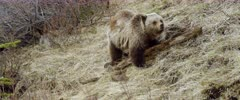 Grizzly (Brown Bear) cub forging & digging, rolls log over, different angle - Slow Motion