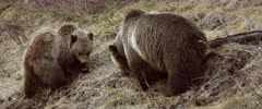 Grizzly (Brown Bear) cub & mother forging & digging, different angle - Slow Motion