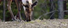 Early spring Caribou male bull foraging, Close Up - Slow Motion