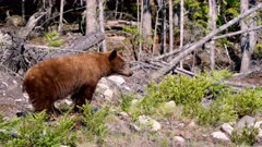 Cinnamon Bear (Black Bear) defecating at edge of forest