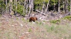 Cinnamon Bear (Black Bear) walking in to forest