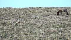 Elk cow & Bighorn Sheep grazing together on hillside - Wide
