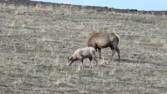 Elk Cow & Bighorn Sheep grazing together on hillside