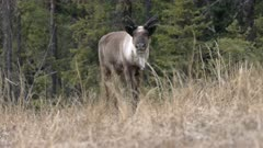 Caribou (Northern Caribou) bull spring antlers - cautious approach - Slow Motion