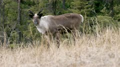 Caribou (Northern Caribou) bull spring antlers - aggressive approach - Slow Motion