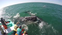 Gray Whale near boat
