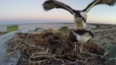 North American Osprey mating