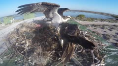 North American Osprey eating fish