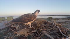 North American Osprey on nest