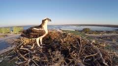 North American Osprey on nest