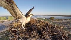 North American Osprey landing on nest