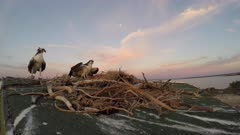 North American Osprey landing on nest with fish