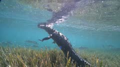 American Crocodile Goes To The Surface In Shallow Water Over Seagrass.