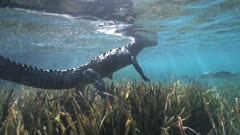 American Crocodile Swims Through Seagrass And Pops To The Surface And Back