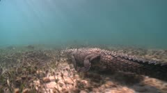Following American Crocodile Walking And Swimming Along The Seagrass Bottom