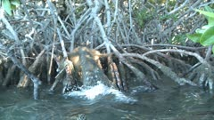 American Crocodile stalking and hunting then killing Desmarest's Hutia / Cuban Hutia in the mangroves