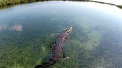 Low Aerial shot of American Crocodile darting and splashing away