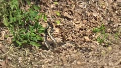 2 Timber Rattle Snakes in either a mating ritual or a dominance display