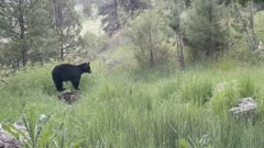 Black Bear at water spring finds rattlesnake near spring