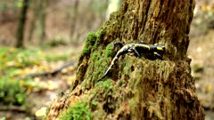 The fire salamander (Salamandra salamandra) is a beautiful caudate amphibian with variable coloration, also known as the spotted lizard, it often remains motionless, lurking for its prey, inhabits wet forests