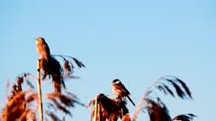 Spring song of the sea buckthorn (Acrocephalus schoenobaenus) in a reed field