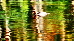 The brown duck (Aythya ferina) dives and swims in the waters of a forest lake in the autumn scenery at sunset