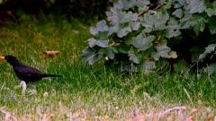 Blackbird (Turdus merula) among grass in the garden