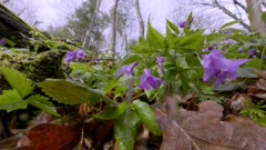 One of the first heralds of spring is Żywiec glanduligera (Cardamine glanduligera O. Schwarz), its flowers decorate the riverside forests even in bad weather