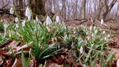Early spring is the flowering period of Snowdrop Snowdrop (Galanthus nivalis L.)