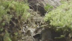 Wood Lemming (Myopus schisticolor) feeding in forest