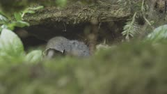 Wood Lemming in Forest