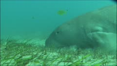 Dugong feeding on seagrass in Mozambique