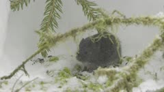 Wood Lemming in Snow