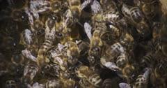 Wild Honey Bees in wild hive