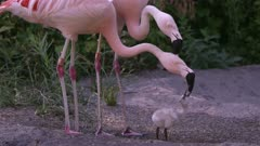 Two adult flamingos trying to feed the same chick with red crop milk as one regurgitates on the other adults head pouring down its face onto chick looking like blood.
