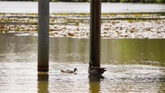Egyptian nile geese alopochen aegyptiaca swimming around a structure in the water of a pond on a warm and sunny day