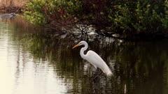 White Egret rises and stretches neck