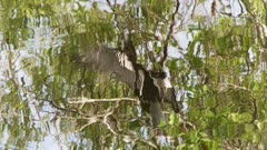 Reflection of cormorant drying wings