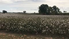 Cotton field Drive by