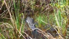 Alligator looks toward camera