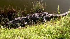 Zoom into basking alligator