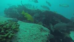 Leopard grouper (Mycteroperca rosacea), from the reefs of the Sea of Cortez, Pacific ocean. Cabo Pulmo National Park, Baja California Sur, Mexico. The world's aquarium.