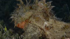 Stonefish, Sea of Cortes, Mexico.