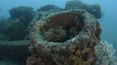Panamic Green Moray Eel (Gymnothorax castaneus), mouth wide open resting in reefs of the Sea of Cortez, Pacific ocean. Cabo Pulmo, Baja California Sur, Mexico. The world's aquarium.