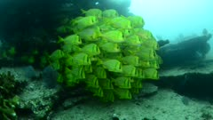 Panamic porkfish (Anisotremus taeniatus),colorful yellow fish in a school, baitball or tornado with a diver, the Sea of Cortez. Cabo Pulmo, Baja California Sur, Mexico.