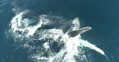 Humpback whale playing and breaching with newborn calf, Mexican Pacific.